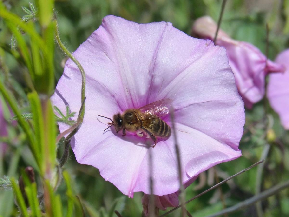 Apis mellifica est aussi une abeille