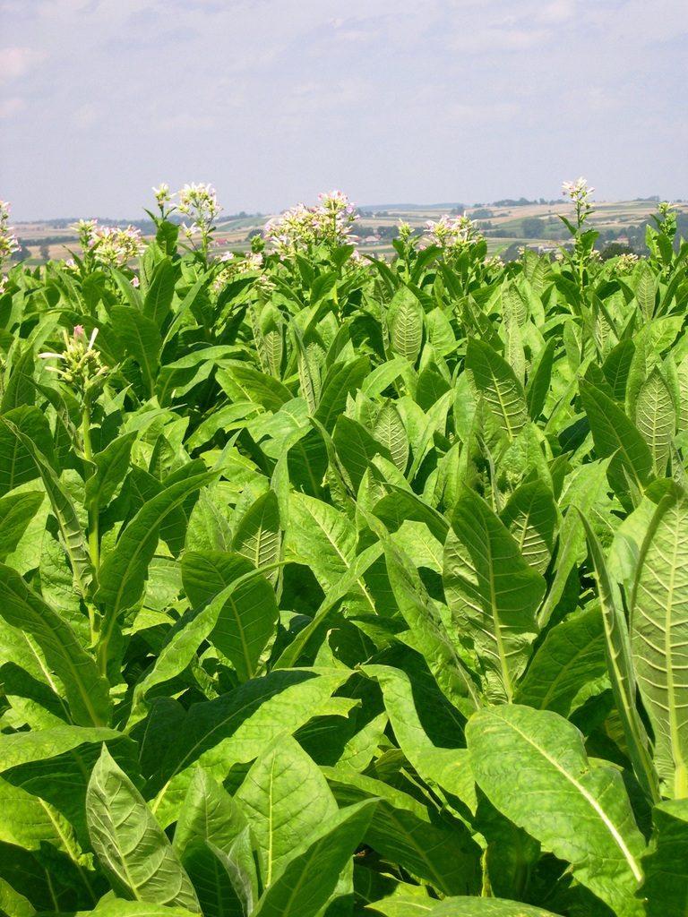 feuilles de tabac