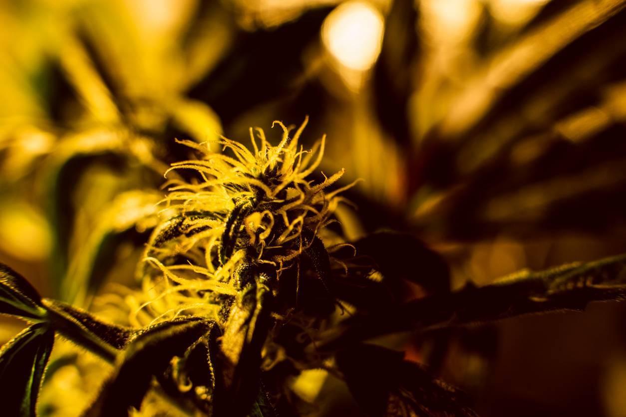 CBG cannabinoïde