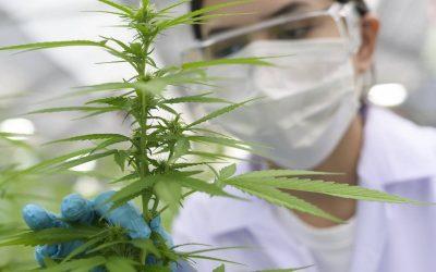 CBG : un cannabinoïde méconnu